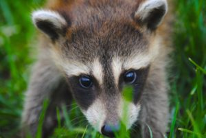 Sterling Heights wildlife removal