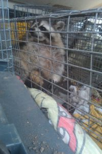 Rochester Hills Wildlife Removal (248) 667-7796