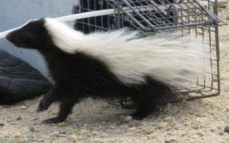Skunk Removal MI
