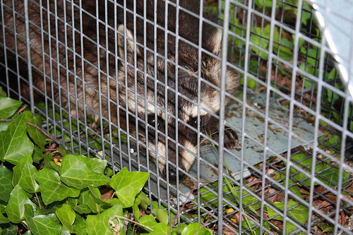 Animal Control Raccoon Removal