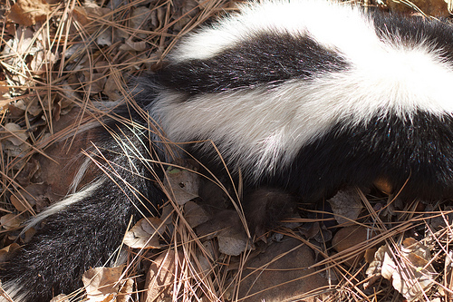 Free Skunk Removal